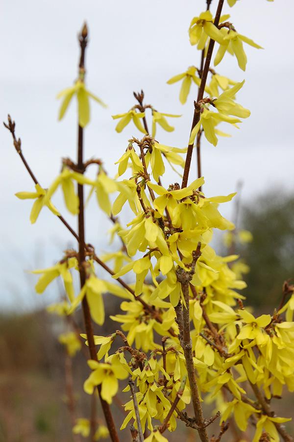 Форзиция яйцевидная – Forsythia ovata L. Семейство маслиновых – Oleaceae